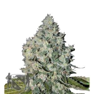 Classic Marijuana Seed Pack